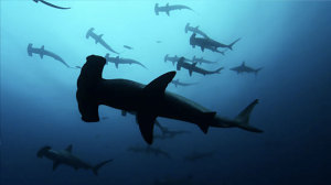 S.O.S. REQUINS (SHARKWATER)